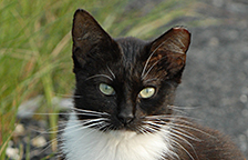 Black and white community cat with an ear-tip