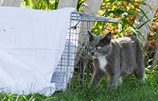 Gray and white feral cat heading into a humane trap for TNR