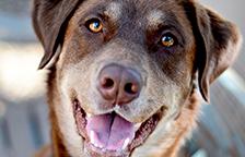 Labrador type mix dog looking at the camera