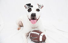 White and black dog posing with football
