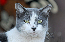 Ear-tipped gray and white stray cat