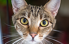 Brown tabby cat looking at the camera