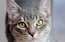 Gray tabby cat looking at the camera