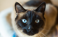 Siamese cat with blue eyes looking at the camera