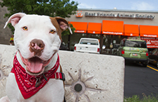 Pit bull terrier in bandanna in front of the Pet Adoption Center in Salt Lake City