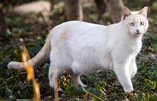 White stray cat with eat-tip