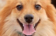 Pomeranian dog smiling at the camera