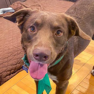Adopt Rebel the dog available for adoption from Chicago
