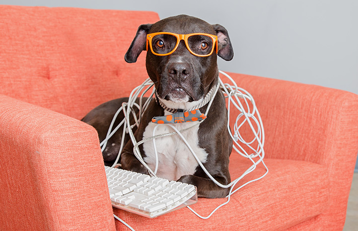 Gunner the pit bull terrier lying on an orange couch wearing glasses with a computer keyboard and covered in wires