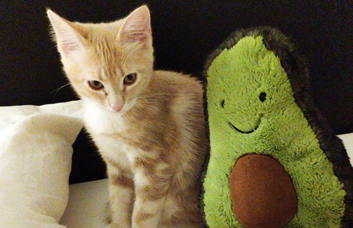 Peach the cream tabby kitten next to a plush stuffed avocado toy