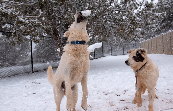 Aspen the dog catches a snowball in the air while Ada the dog watches