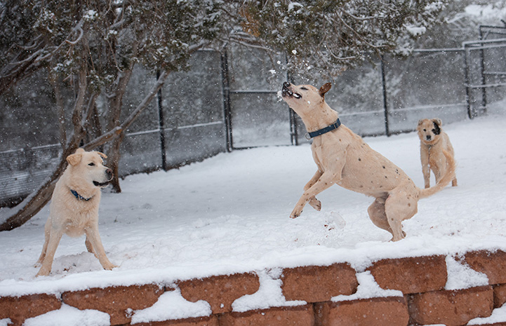 Three dogs playing in the snow with one jumping up to catch a snowball in the air
