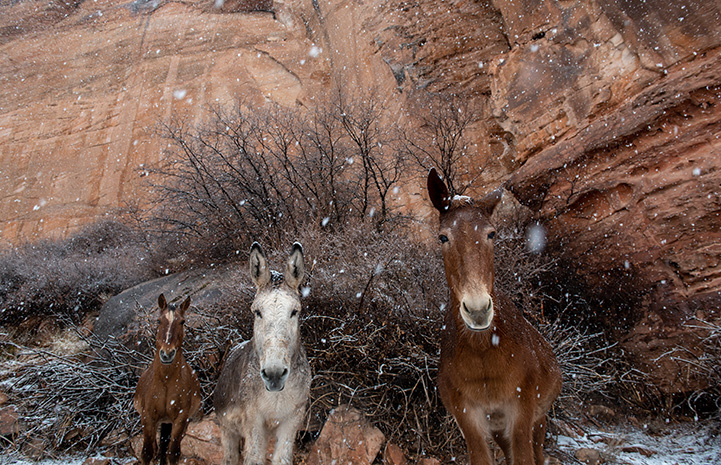 Speedy the donkey in between two horses while it's snowing and a red cliff behind them