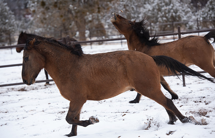 Horses running in the snow with one of the horse's head up in the air