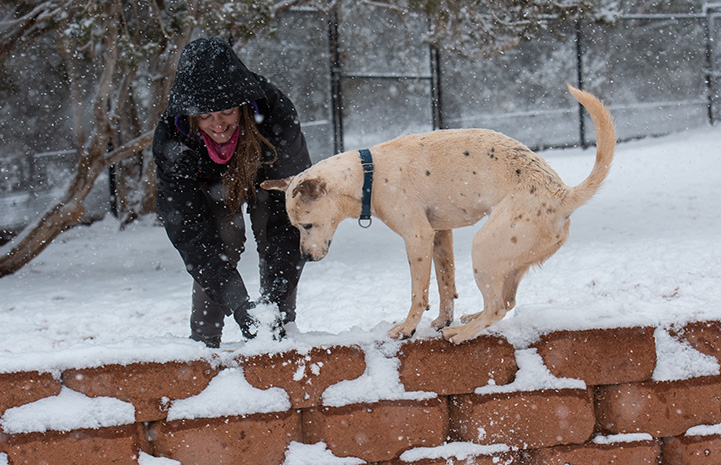Nimbus the dog standing on a paver wall in the snow with a person making a snowball