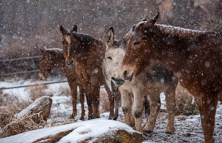 Speedy the donkey outside in the snow standing with horses