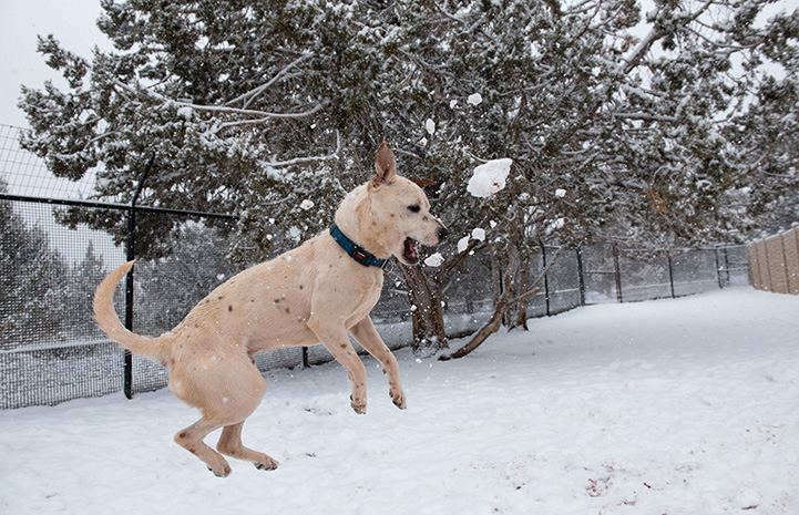 Nimbus the dog jumping up to catch a thrown snowball