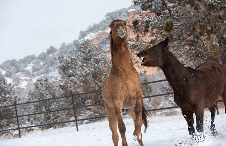 Two horses out in the snow with one rearing up a bit while the other neighs at him or is going in for a nip