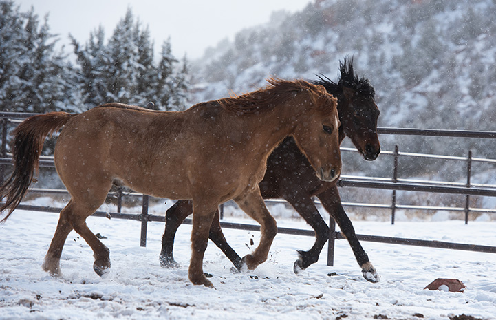 Two horses, Peanut and Chili, running together in the snow