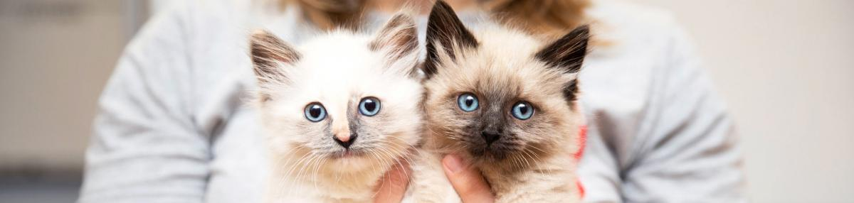 Person holding two Siamese mix kittens
