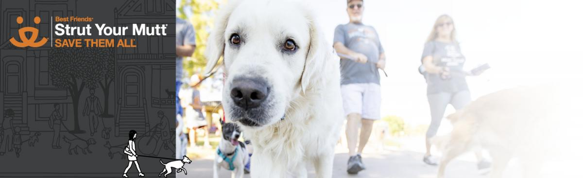 Person walking a large white dog promoting Strut Your Mutt