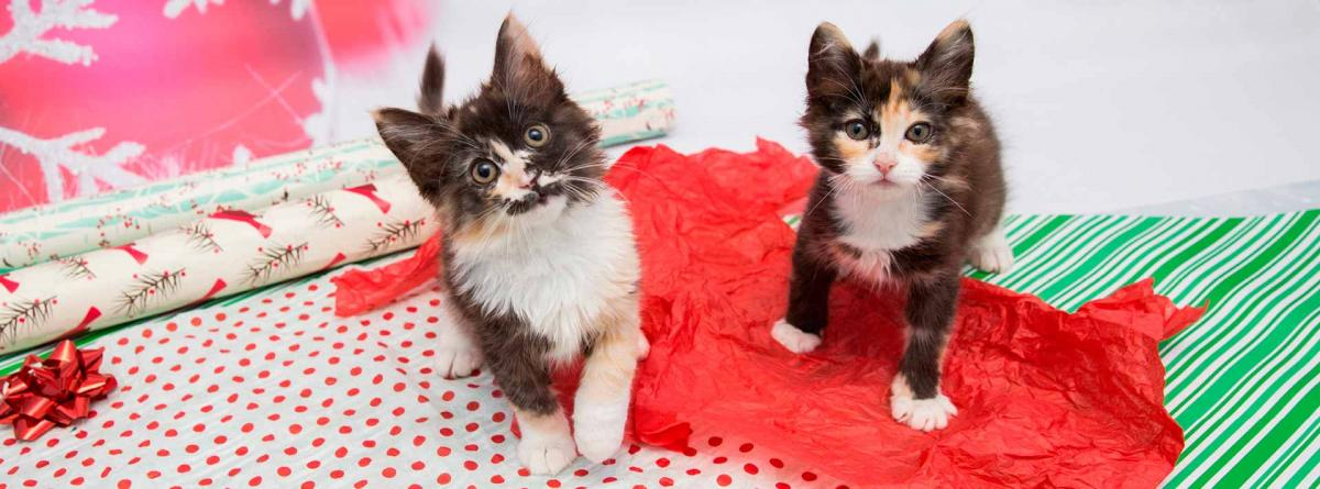 Two calico kittens standing on wrapping paper