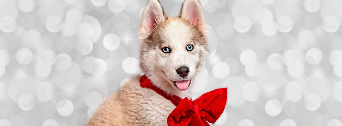 Husky puppy with tongue out wearing a red bow with a sparkly background