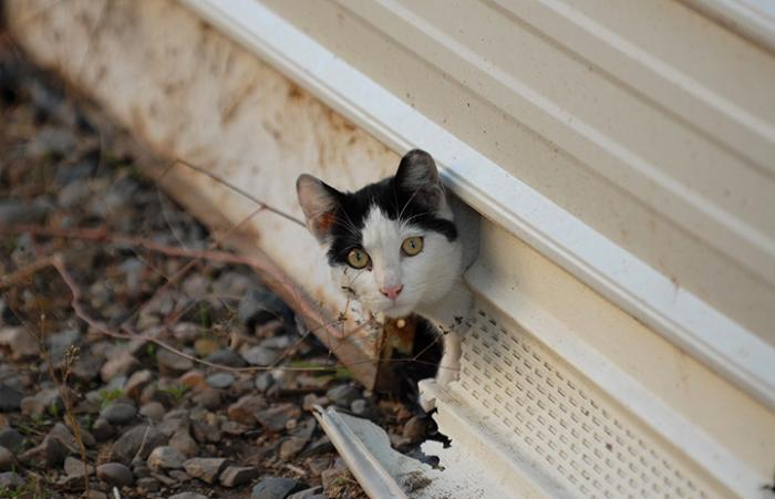 Black and white community cat with ear tip poking his head out from under a home