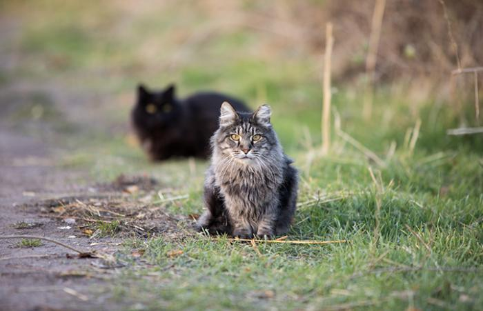 Medium hair brown tabby community cat with ear tip with a black community cat behind him