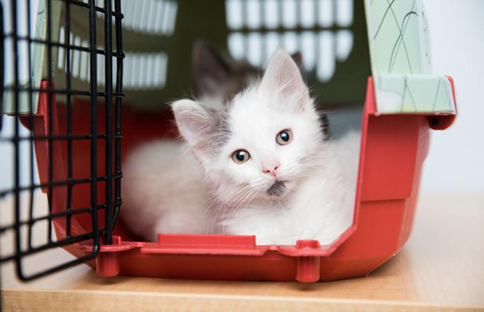 White and gray kitten inside a small cat carrier