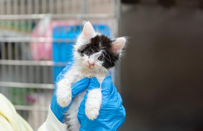 Person holding a tiny black and white kitten in blue gloved hands
