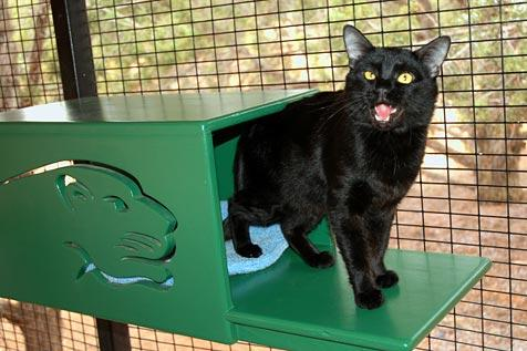 Ozzie, the black panther domestic cat