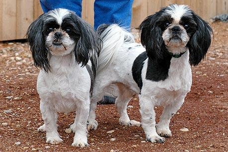 Two Shih Tzus who are adoptable