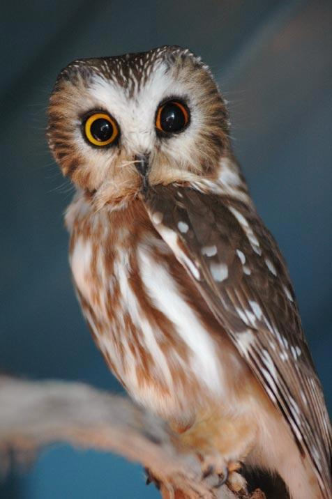 Northern saw-whet owl named Sid who is an educational bird at the Sanctuary