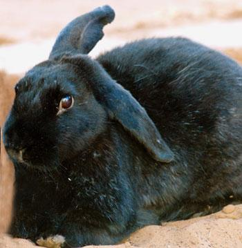 Sammy the black rabbit who may indeed have nine lives