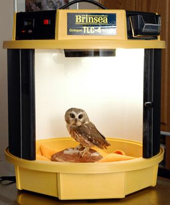 Baby owl in an incubator