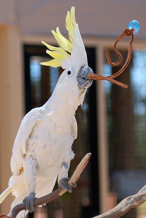 Bilingual bird Sunshine the cockatoo