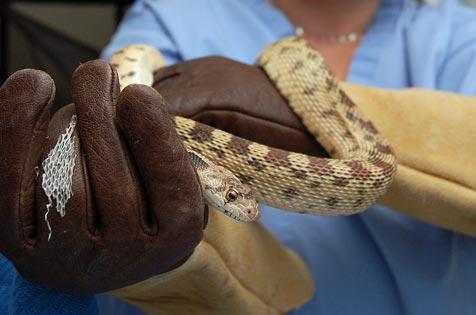 Rehabilitator holding a bull snake