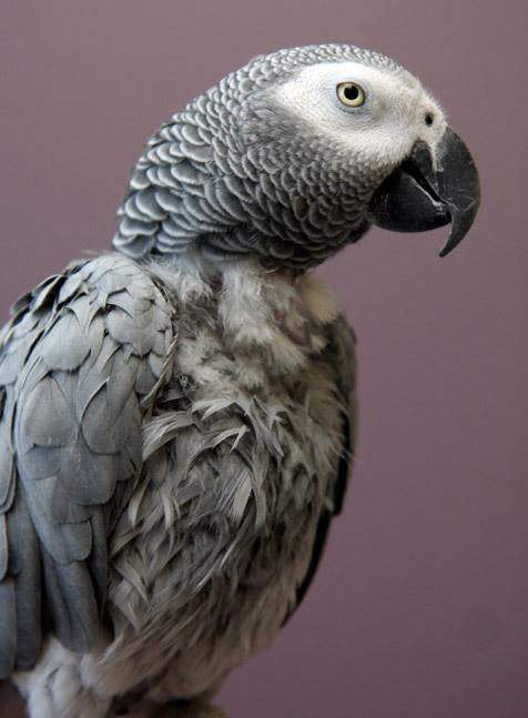 African gray parrot who talks