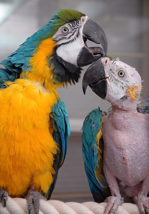 Two blue and gold macaws. The one on the right has been over-preened.