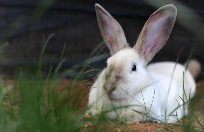 white bunny with tall ears laying in the grass