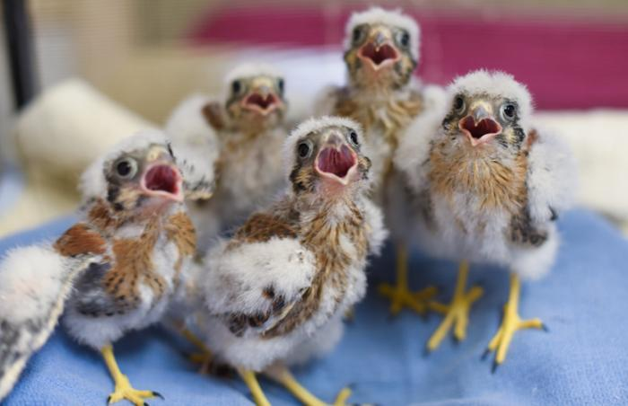 The five nestling American kestrels (baby raptors)