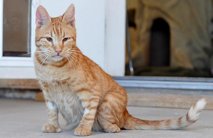 Arnie the sweet orange tabby cat with radial hypoplasia