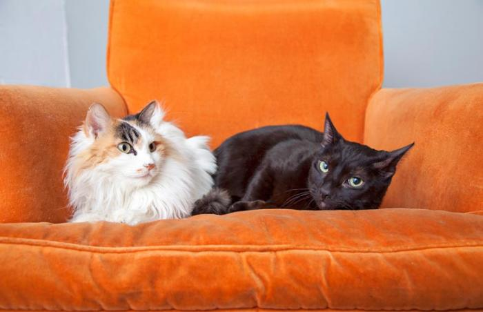 Atlantis the black cat who was a surrogate to a litter of kittens with another cat on an orange chair