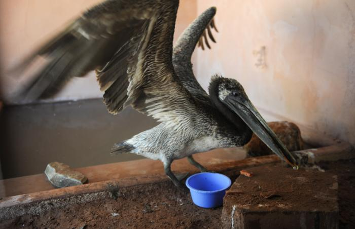 The young pelican receives rehabilitation at Wild Friends