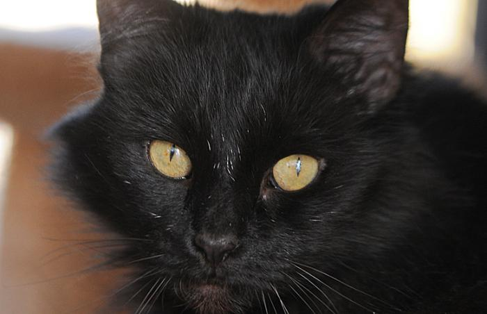 Lady Opal, a shy black cat from a hoarding situation, who was adopted during the Back in Black pet adoption promotion