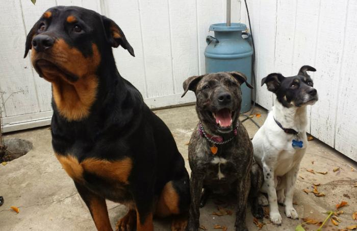 Calistoga the brindle dog (middle) with two dog friends