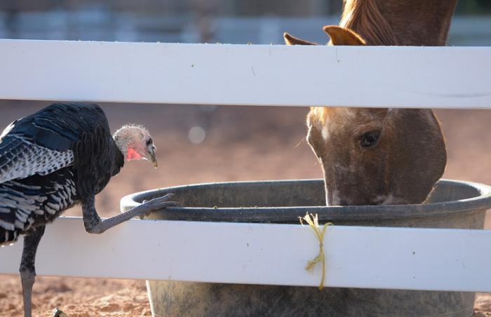 Firebug the horse shares a meal with a local turkey