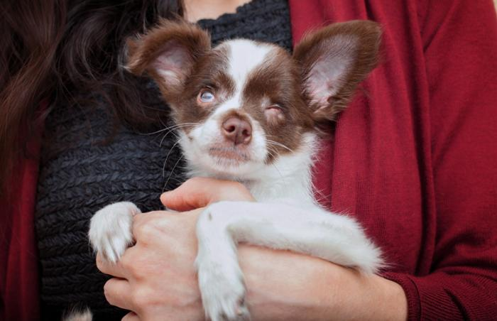 Pappy the blind Chihuahua mix puppy was lucky in love
