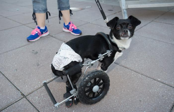 Blossom the special-needs Chihuahua going for a walk in her wheelchair